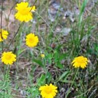 Geltonziedis-bobramunis-Zolynu-namai