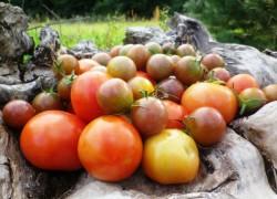 zolynu-namu-pomidorai